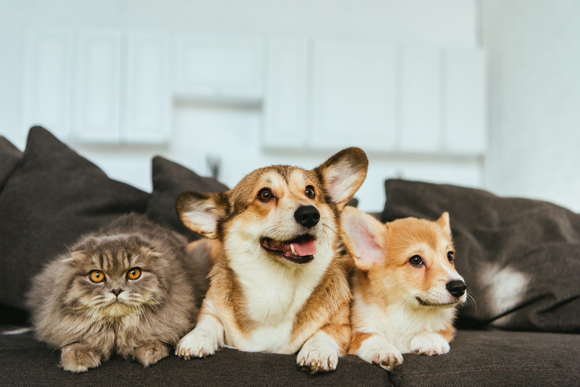 Two dogs and a cat on a sofa